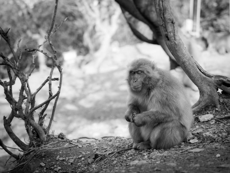 カチカチ石を鳴らすお猿
