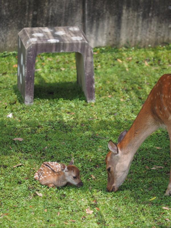 鹿苑にいる母鹿と子鹿