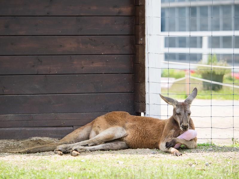 ピンクの枕を抱いて寝ているカンガルーの豆蔵