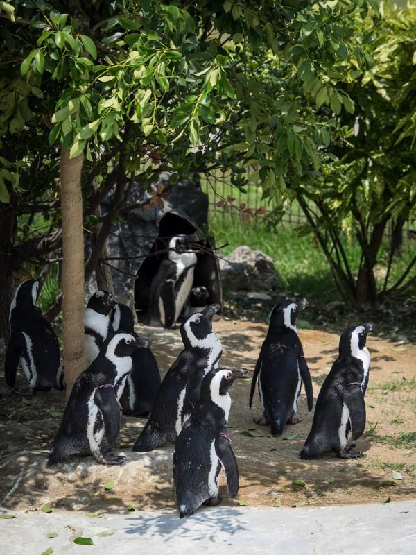 10羽のケープペンギン