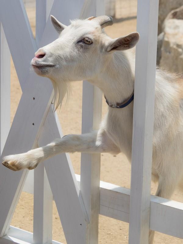 なんか頂戴と前脚を上げるヤギ