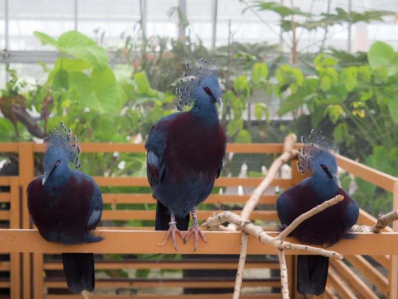 3羽のオウギバト