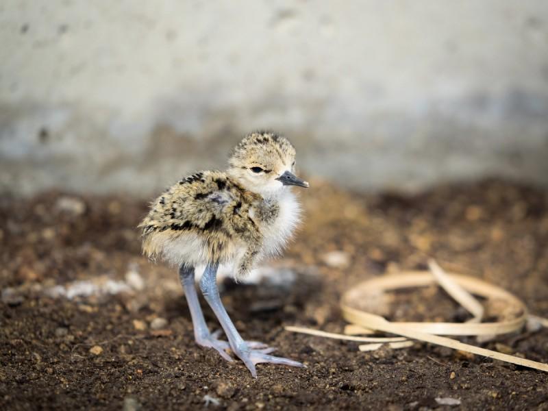 立っているクロエリセイタカシギの雛