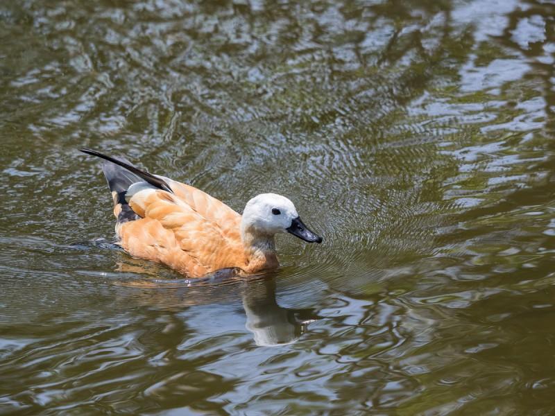 池を泳ぐアカツクシガモ