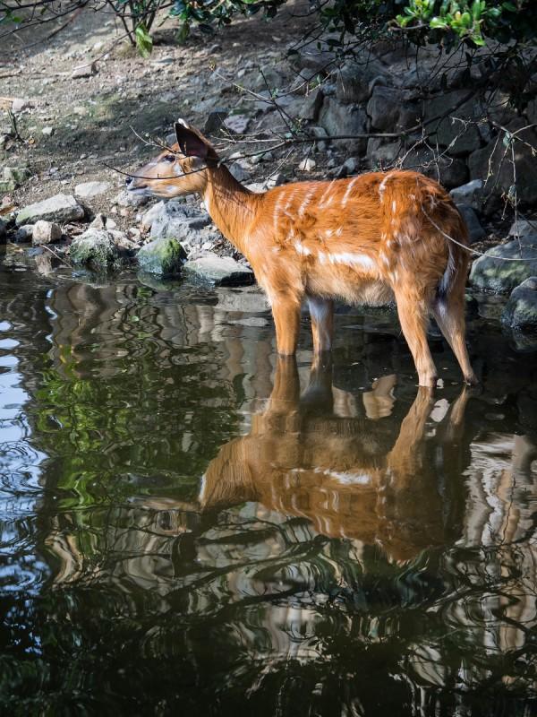 池に入っているシタツンガ