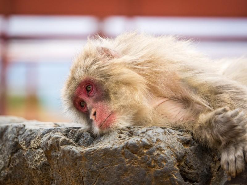 横になっているお猿(カラー)