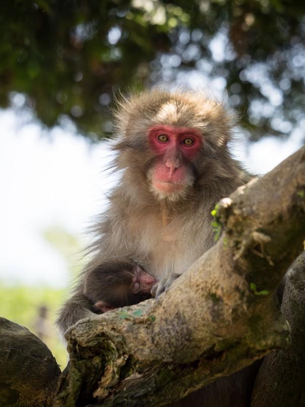 木の上で赤ちゃんを抱かかえる母猿