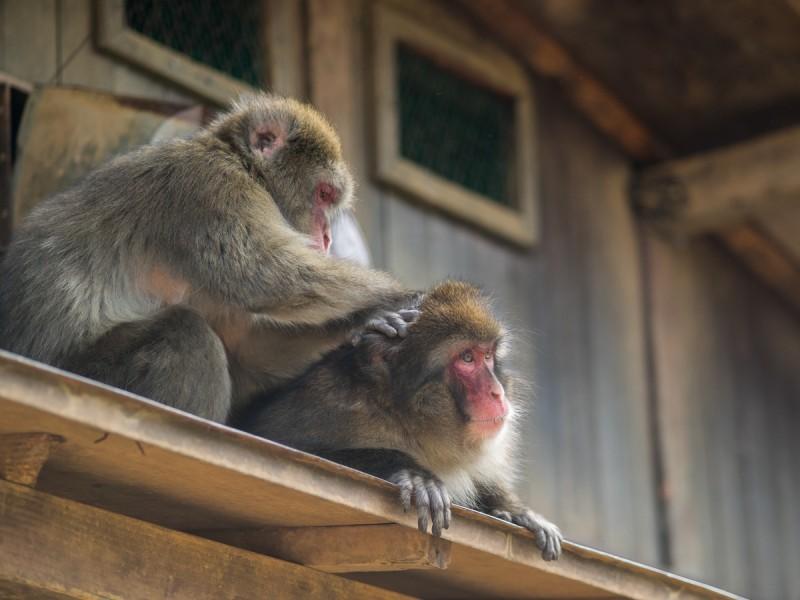 毛繕い中のお猿
