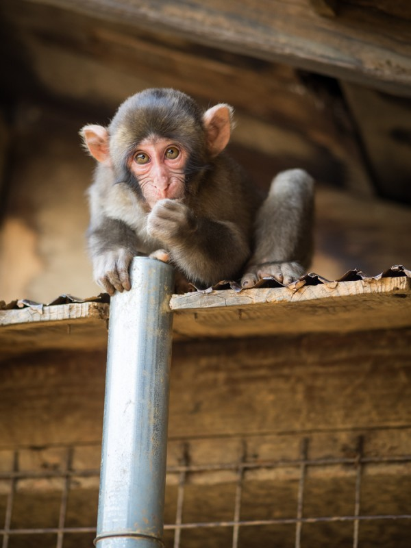 好奇心旺盛な子猿
