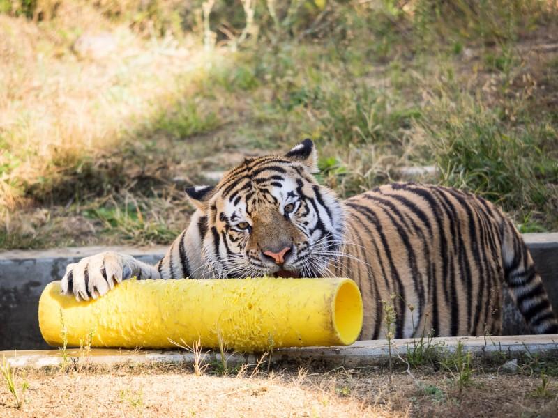 おもちゃで遊ぶ虎