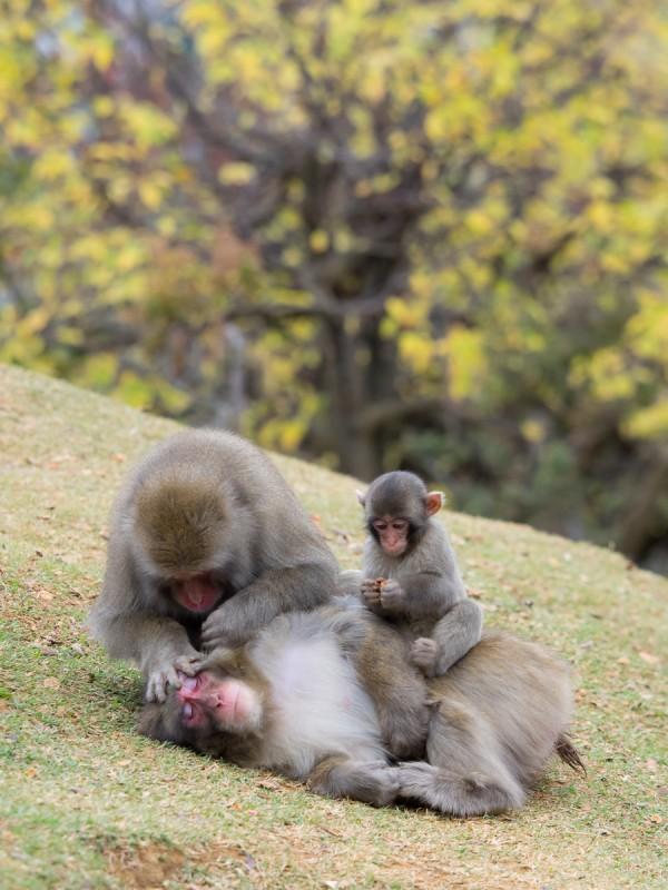 毛繕いする3頭のお猿の家族
