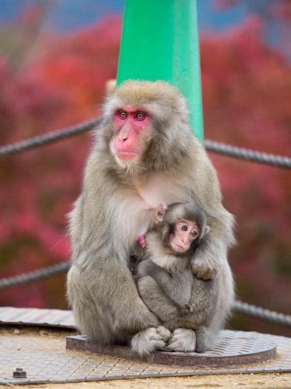 お猿の親子と紅葉
