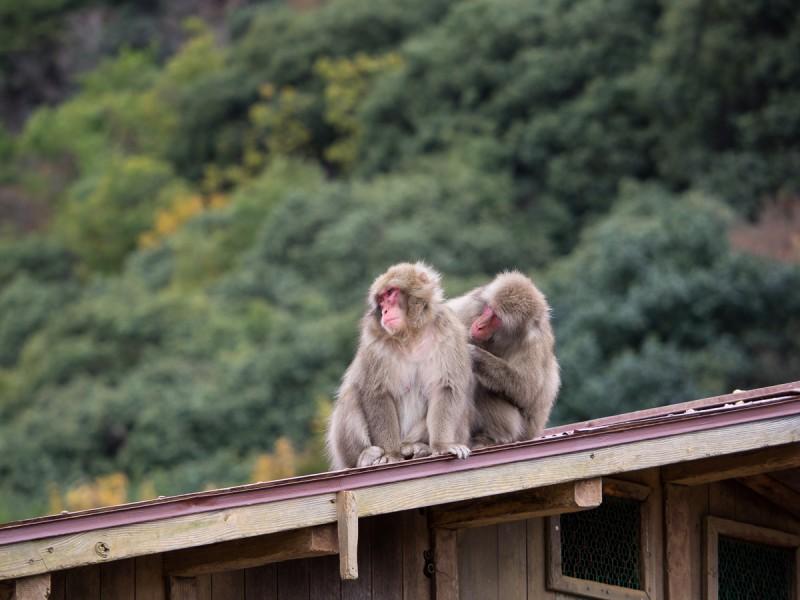 屋根の上で毛繕いする2頭のお猿