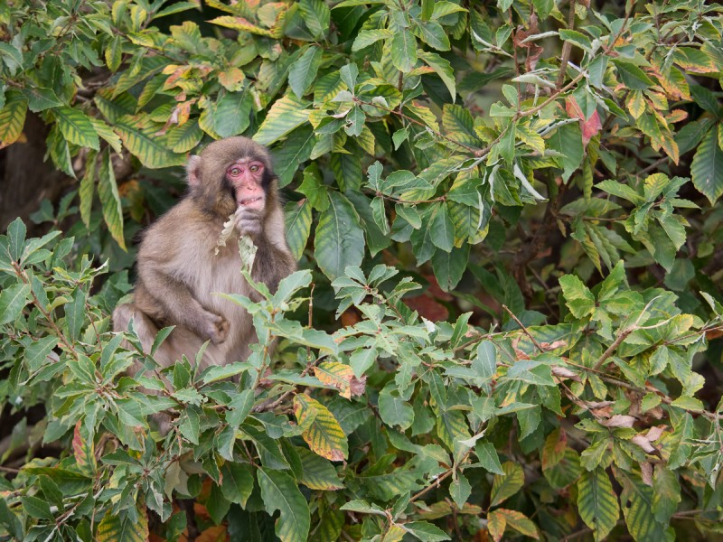 木に登って葉っぱをかじるお猿