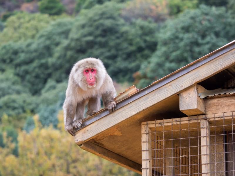 屋根の上にいる顔が真っ赤なお猿