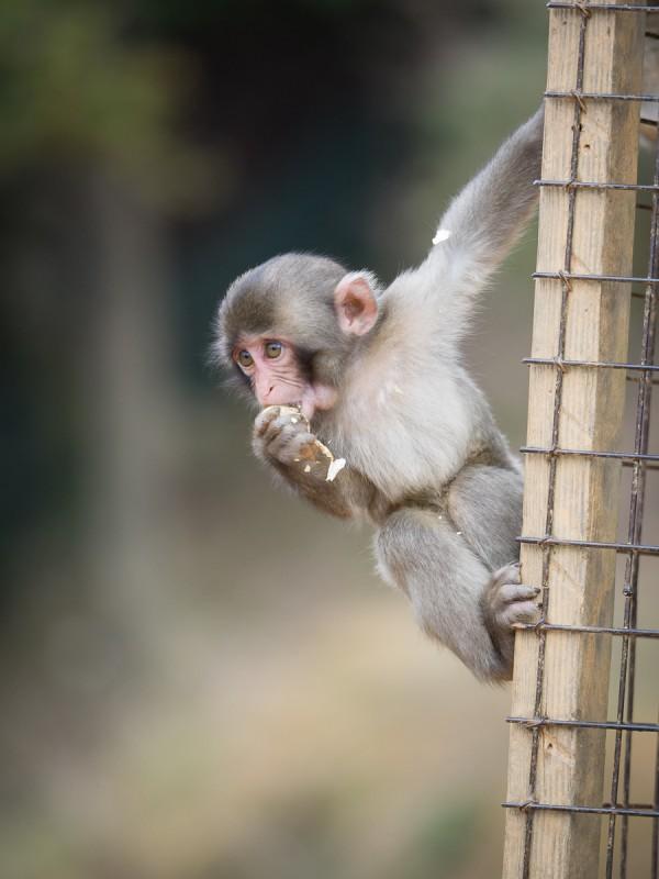 ぶら下がりながら、片手に持った落花生をほおばる子猿