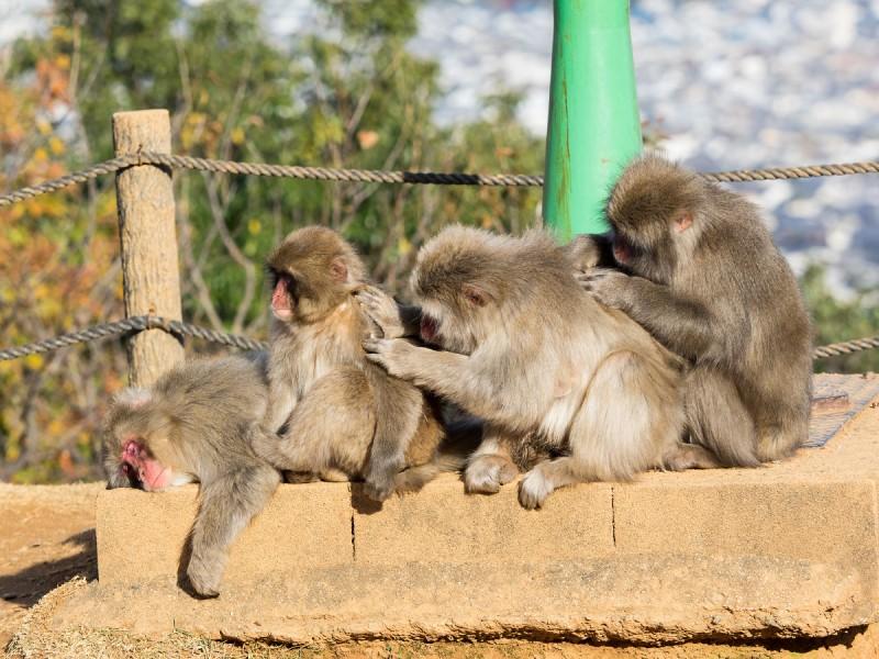毛繕いしている4頭のお猿