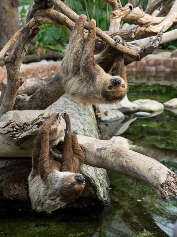 木にぶら下がる2頭のナマケモノ