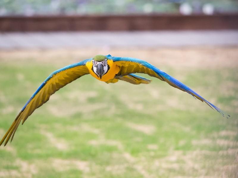 ルリコンゴウインコ