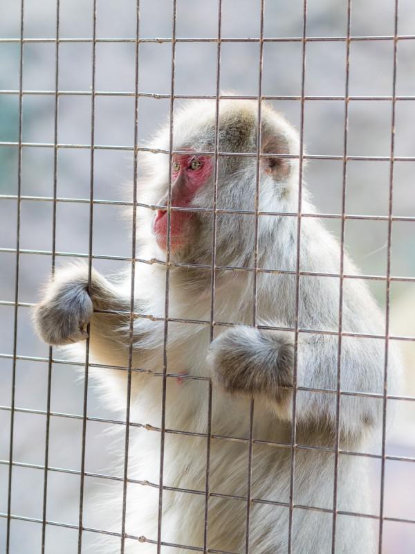 エサを待つ嵐山のお猿
