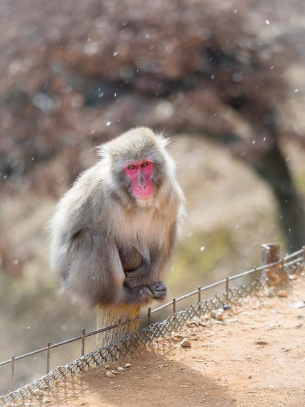 雪舞う嵐山モンキーパークで寒そうに座っているお猿