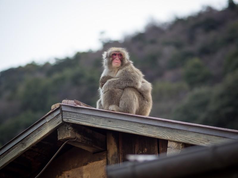 屋根の上で寄り添うお猿の親子