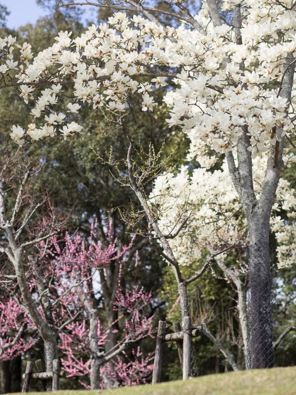 ハクモクレンと梅の木