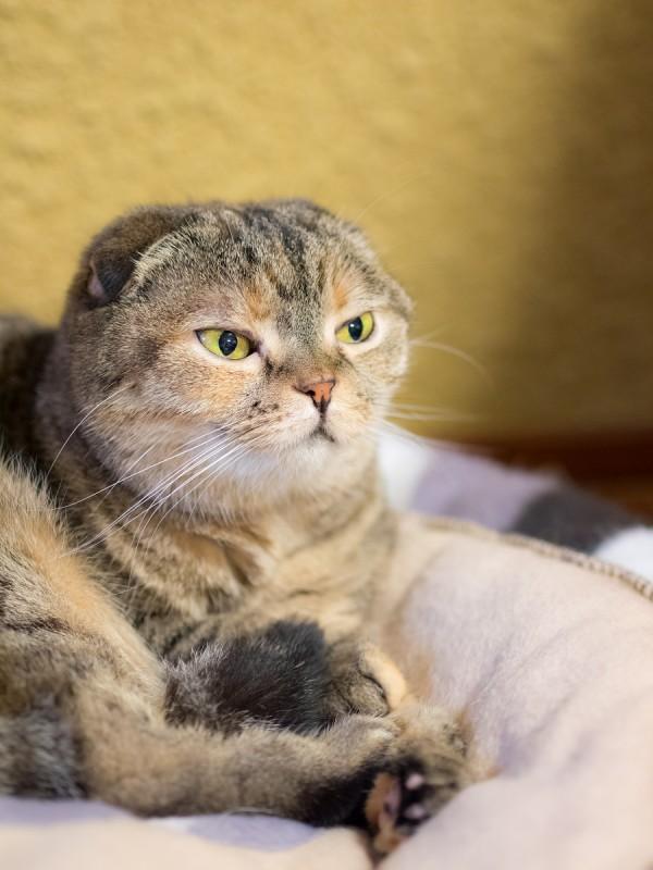猫カフェの猫(スコティッシュフォールド))