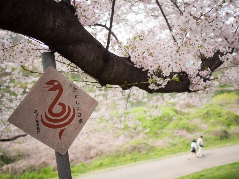 背割提の桜とまむし注意の看板