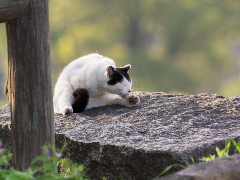 毛繕いしている野良猫