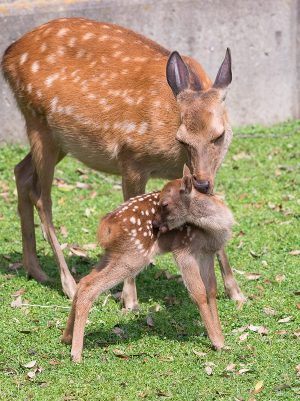 子鹿を毛繕いする母鹿