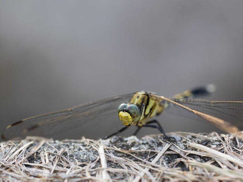 シオカラトンボ雌