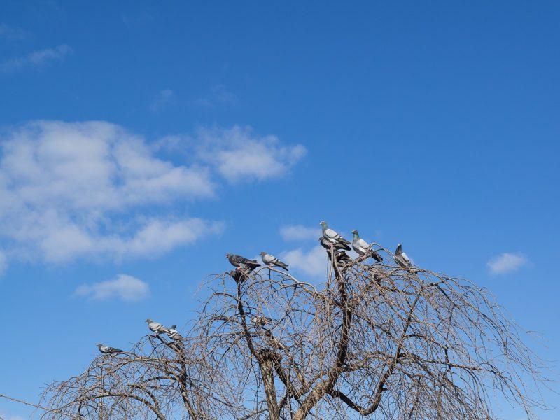 木に止まる鳩