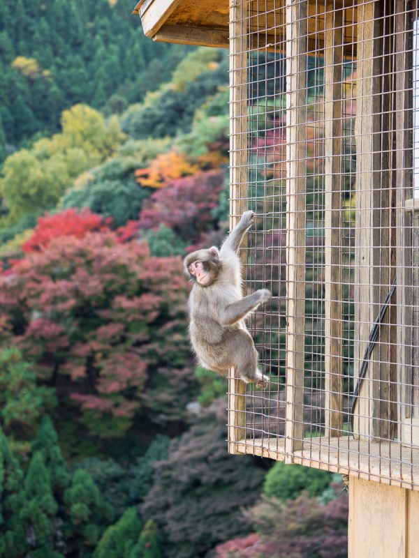 嵐山モンキーパークの子猿