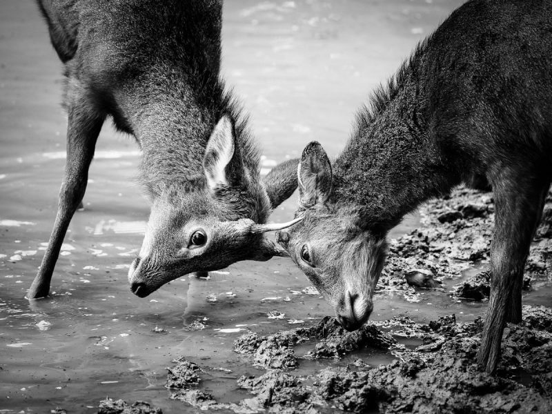 雄鹿同士の喧嘩