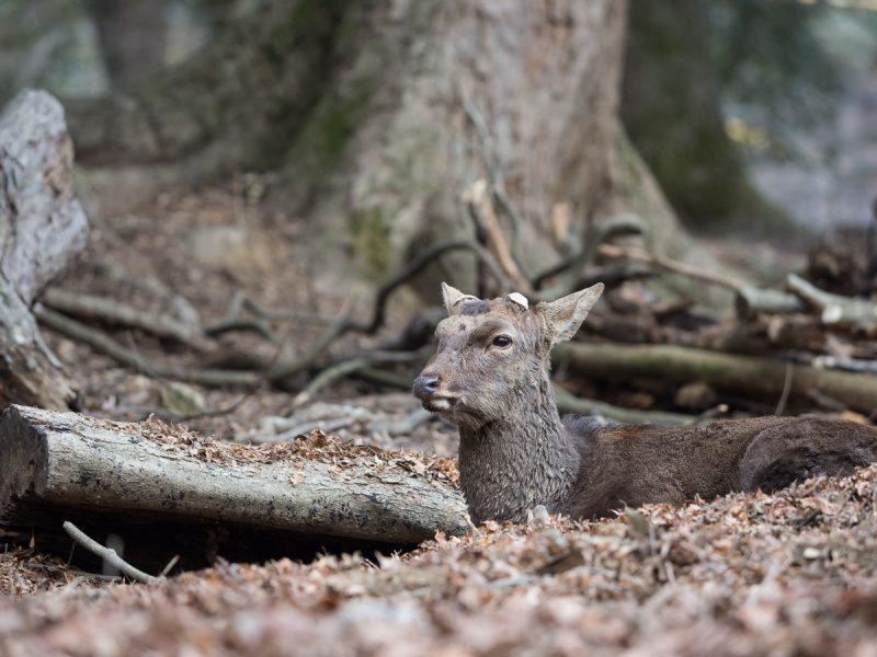落ち葉の布団で休む雄鹿