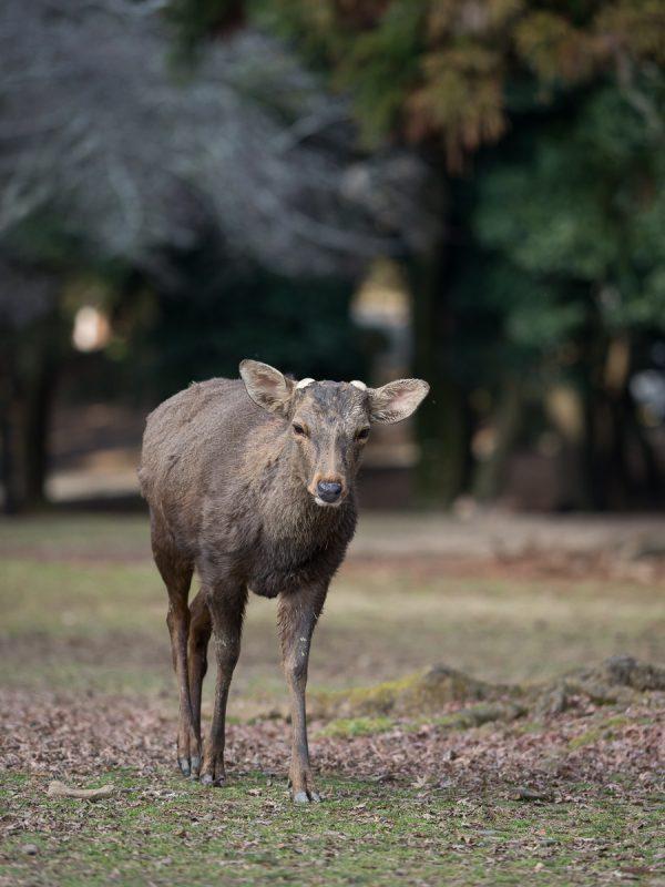 奈良公園の雄鹿