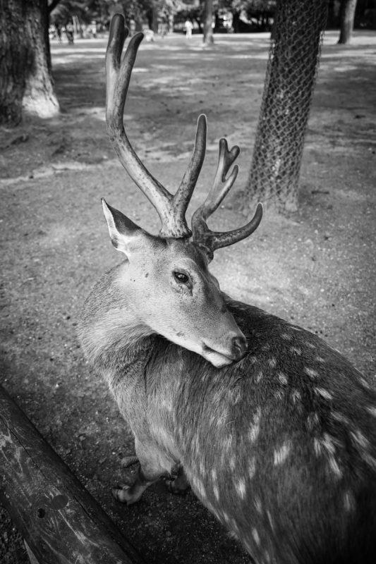 奈良公園の角の伸びた雄鹿