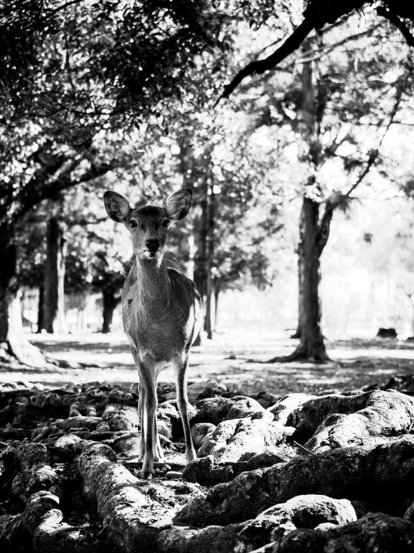 奈良公園の雌鹿