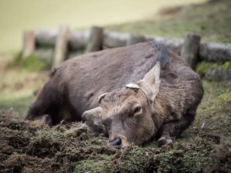 泥浴びをする雄鹿