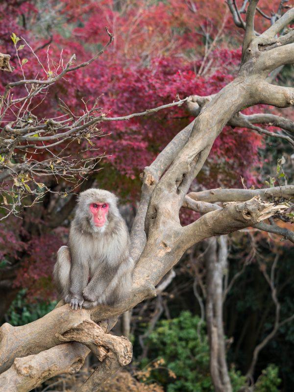 紅葉バックに木の上でくつろぐお猿