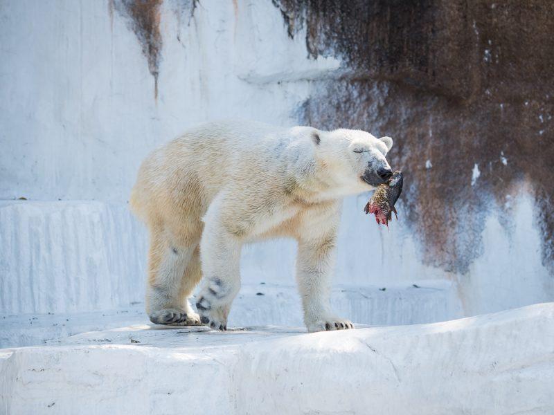 天王寺動物園のホッキョクグマ、イッちゃんのお食事タイム