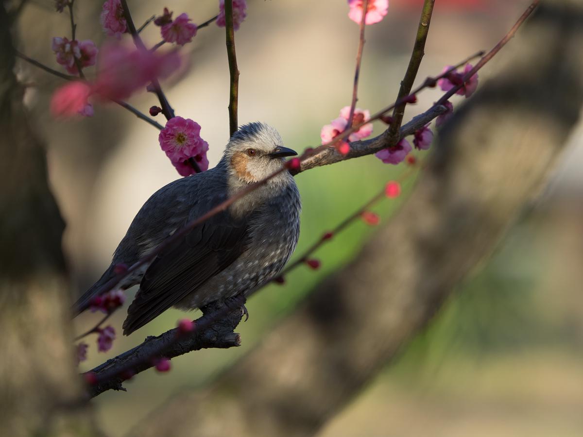 梅の木にとまるヒヨドリ