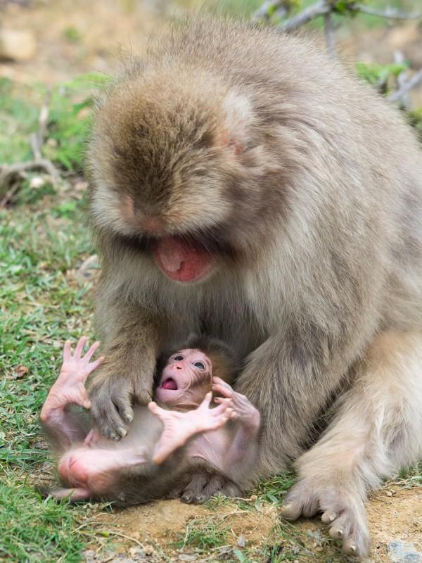 子猿をあやす母猿