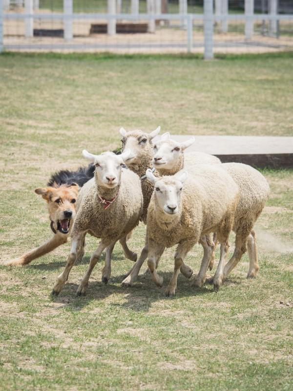 5頭の羊を追う牧羊犬