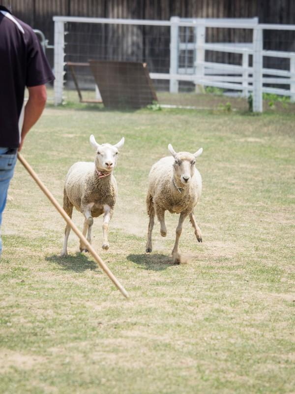 逃げる2頭の羊