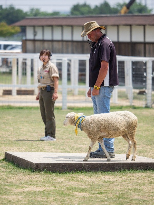羊飼いの合図で一周回る羊