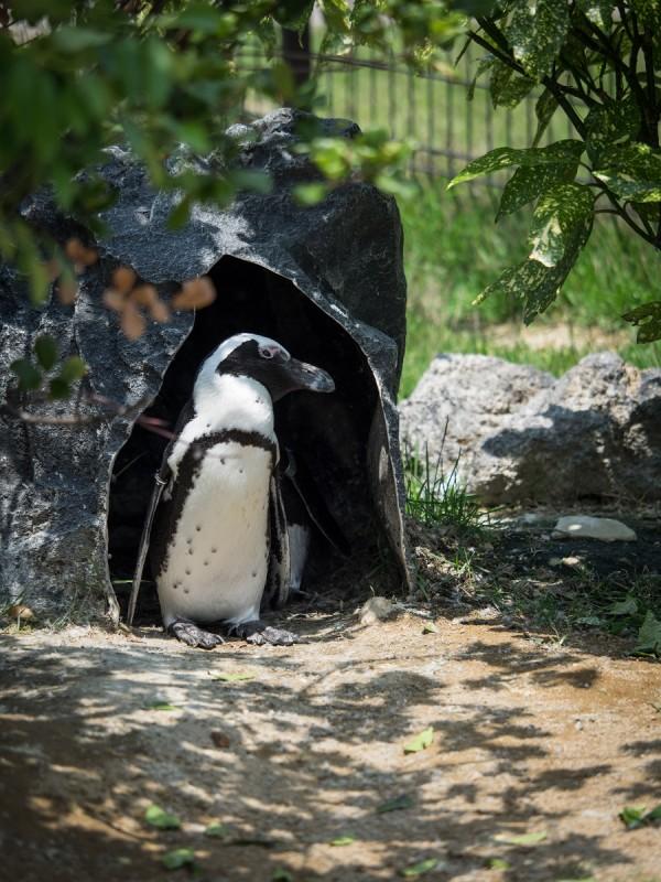 休憩中のケープペンギン