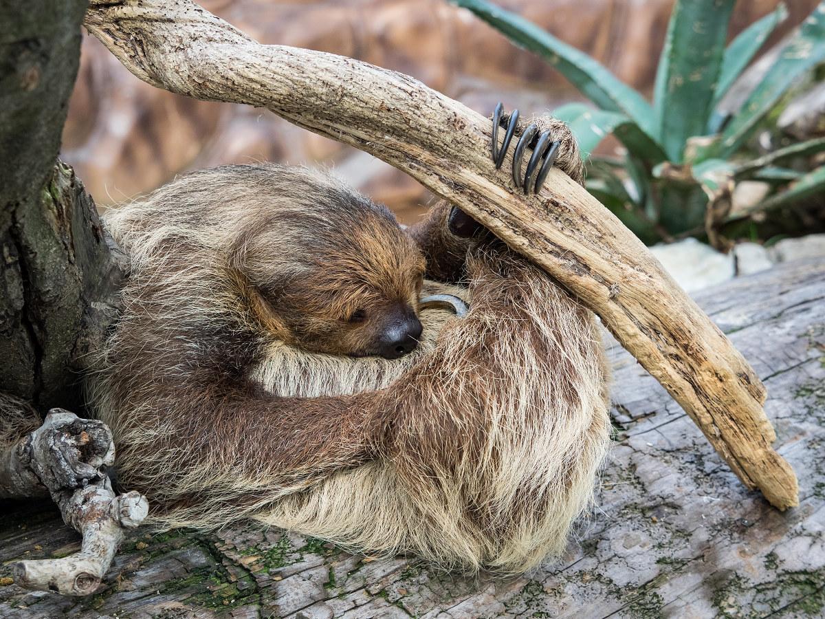 寝ているナマケモノ