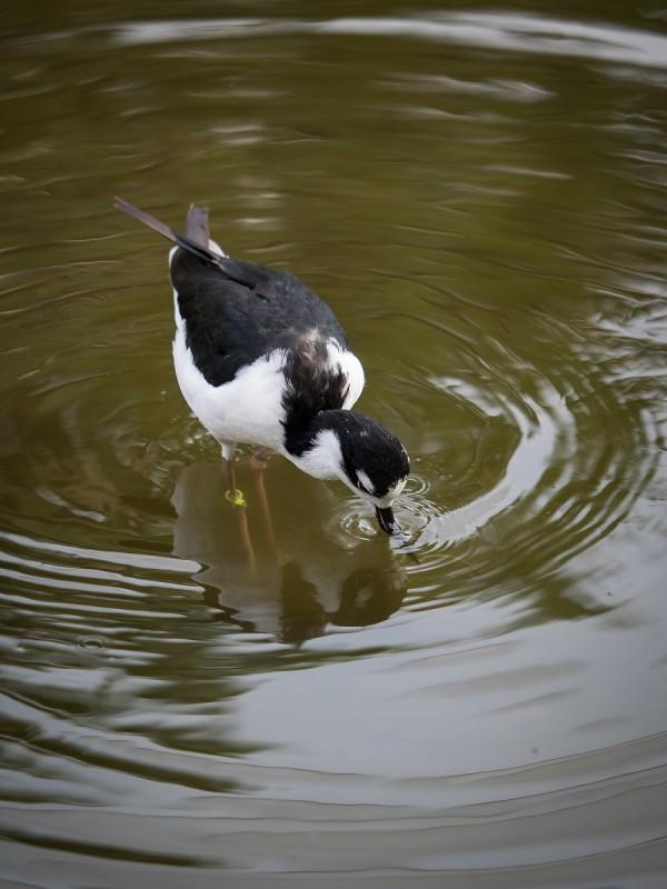水を飲むクロエリセイタカシギ